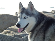 Huskies Framed Prints - Sierras Intense Gaze Framed Print by Jean Marshall