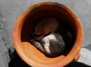 Pictures Of Cats Photo Metal Prints - Siesta 2 Metal Print by Xueling Zou