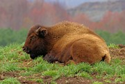 Bison Photos - Siesta by Adam Jewell