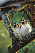 Lemur Sp Framed Prints - Sifaka Propithecus Sp Family Resting Framed Print by Cyril Ruoso