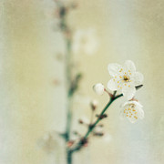 Plum Tree Posters - Signs Of Spring Poster by Jill Ferry