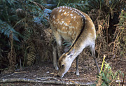 Forest Floor Prints - Sika Deer Print by Adrian Bicker