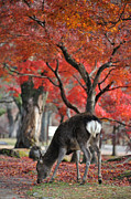 Japanese Maple Posters - Sika Deer In Autumn Colors Poster by Myu-myu