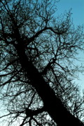 Bare Trees Posters - Silhouette of a bare tree trunk and branches in winter Poster by Sami Sarkis
