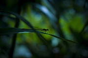 Silhouette Of A Damselfly Print by Zoe Ferrie