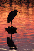 Blue Heron Framed Prints - Silhouette of a Heron Framed Print by Matt Dobson