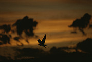 Silhouettes Metal Prints - Silhouette Of A Red-tailed Hawk Metal Print by Joel Sartore