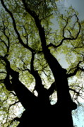 Sami Sarkis Metal Prints - Silhouette of a tree trunk with new growth in springtime Metal Print by Sami Sarkis