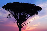 Silhouetted Posters - Silhouette of an old pine tree at sunset Poster by Sami Sarkis