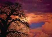 Baobab Posters - Silhouette Of Baobab Tree At Dusk Poster by Axiom Photographic