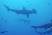 Silhouette Of Scalloped Hammerhead Sharks Print by Sami Sarkis