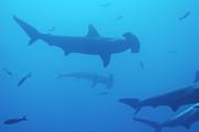 Sami Sarkis - Silhouette of Scalloped Hammerhead sharks