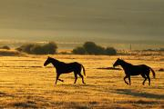 Selection Posters - Silhouetted Horses Running Poster by Natural Selection Craig Tuttle