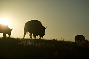 Bison Photos - Silhouettes Of Roaming Bison by Pete Ryan