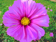 Padre Art Photos - Silky Cosmos Petals by Padre Art