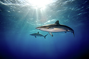 Shark Posters - Silky Sharks Poster by James R.D. Scott