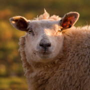 Sheep Photos - Silly Face by Angel  Tarantella