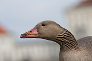 Greylag Prints - Silly Goose Print by Andrew  Michael
