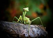 Altered Framed Prints - Silly Mantis Framed Print by Karen M Scovill