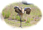 Sandhill Crane Photos - Silly Sandhill Crane Chick by Carol Groenen