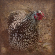 Orange And Black Birds Posters - Silver Cochin Chicken Poster by Cindy Wright