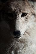 Intent Framed Prints - Silver Coyote Framed Print by Douglas Barnett