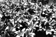Patch Digital Art Posters - Silver Lilies Poster by Bill Tiepelman