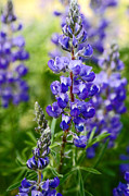 Silvery Posters - Silver Lupine Colorado Mountain Meadow Poster by The Forests Edge Photography - Diane Sandoval
