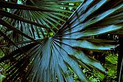 Nature Scene Metal Prints - Silver Palm Leaf Metal Print by Susanne Van Hulst