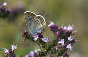 Angiosperm Art - Silver-studded Blue On Marjoram by Bob Gibbons
