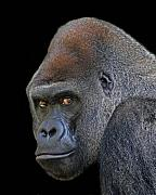 Ape Photo Posters - Silverback Lowland Gorilla Poster by Larry Linton