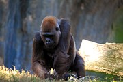Ape Photo Originals - Silverback by Randy Matthews
