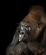 Primates Photos - Silverback Western Gorilla by Jay Lethbridge