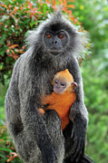 Three-quarter Length Prints - Silvered Leaf Monkey Trachypithecus Print by Thomas Marent