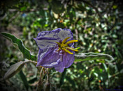 Watson Lake Photos - Silverleaf Nightshade HDR by Aaron Burrows