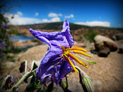 Watson Lake Photos - Silverleaf Nightshade Wildflower and the Lake by Aaron Burrows