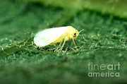 Silverleaf Whitefly Print by Science Source