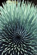 Elevation Photos - Silversword, Haleakala by Carl Shaneff - Printscapes
