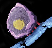 3-d Posters - Simian Immunodeficiency Virus (siv) Poster by Sriram Subramaniamnational Cancer Institute