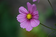 Natures Photos Posters - Simple Cosmos Moments Poster by Neal  Eslinger