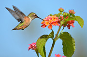 Rufous Hummingbird Posters - Simple Delights Poster by Fraida Gutovich