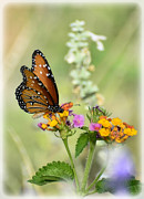 Queen Butterfly Posters - Simple Pleasures  Poster by Saija  Lehtonen