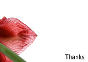 Amaryllis Photos - Simple Thanks Greeting Card by Lisa Knechtel