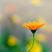 Wildflower Photos - Simplicity by Joel Olives