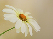 Marguerites Framed Prints - Simplicity Framed Print by Sharon Lisa Clarke