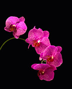 Close Pyrography Posters - Simply Beautiful Purple Orchids Poster by Michael Waters