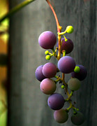 Vine Grapes Framed Prints - Simply Grapes Framed Print by Paul St George