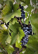 Blue Grapes Digital Art Framed Prints - Simply Grapes Framed Print by Sharon Foster