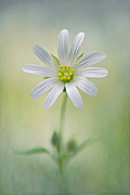 Textured Floral Framed Prints - Simply Stitchwort Framed Print by Jacky Parker