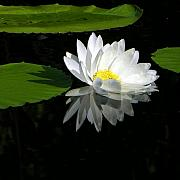 Water Lily Pond Prints - Simply White on Black Print by John Lautermilch